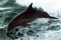 Dolphin - Photography Copyright Brian B. Sevald