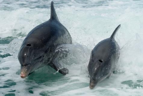 Dolphins - Photography Copyright Brian B. Sevald